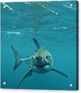 Smiley Shark Acrylic Print by Crystal Beckmann