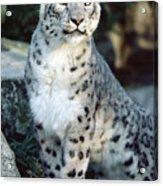 Snow Leopard Uncia Uncia Portrait Acrylic Print by Gerry Ellis