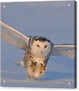 Snowy Owl Last Light Acrylic Print by Scott  Linstead