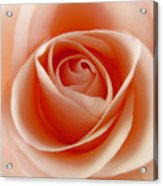 Soft Rose Acrylic Print by Steve Williams