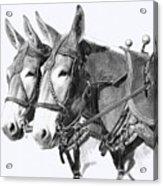 Sorrel Mule Team Acrylic Print by Bethany Caskey