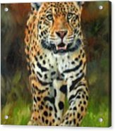 South American Jaguar Acrylic Print by David Stribbling