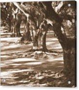 Southern Sunlight On Live Oaks Acrylic Print by Carol Groenen