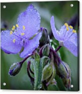 Spiderwort Acrylic Print by James Barber