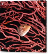 Spotted Boxfish Hides In Red Sea Fan Acrylic Print by James Forte