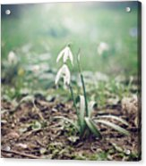 Spring Rising Acrylic Print by Heather Applegate