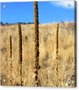 Stalks Acrylic Print by Christopher Wood