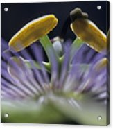 Stamen Of A Passionflower Acrylic Print by Sami Sarkis