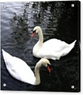 Stanley Park Swans Acrylic Print by Will Borden