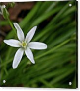 Star Of Bethlehem Flower Acrylic Print by Brent Parks