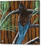 Stellar Jay Acrylic Print by Jennifer Lake