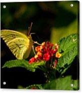 Sulpher Butterfly On Lantana Acrylic Print by Douglas Barnett