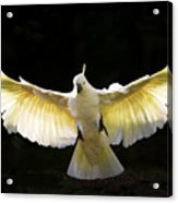Sulphur Crested Cockatoo In Flight Acrylic Print by Avalon Fine Art Photography