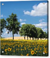 Sunflower Field 2 Acrylic Print by SK Pfphotography