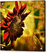 Sunflower Acrylic Print by Lois Bryan