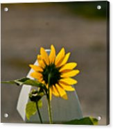 Sunflower Morning Acrylic Print by Douglas Barnett