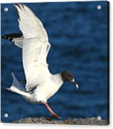 Swallow Tailed Gull Landing Acrylic Print by Alan Lenk