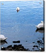 Swan Lake Acrylic Print by Colleen Kammerer