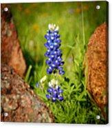 Texas Bluebonnet Acrylic Print by Jon Holiday