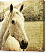 The Old Grey Mare Acrylic Print by Meirion Matthias