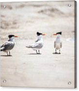 The Talking Terns Acrylic Print by Lisa Russo