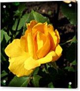 The Yellow Rose Of Garden Acrylic Print by Tom Buchanan