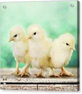 Three Amigos Acrylic Print by Amy Tyler