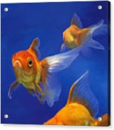 Three Goldfish Acrylic Print by Simon Sturge