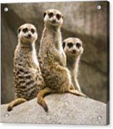 Three Meerkats Acrylic Print by Chad Davis