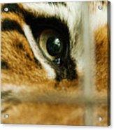 Tiger Behind Bars Acrylic Print by Melody Watson