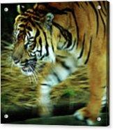 Tiger Burning Bright Acrylic Print by Rebecca Sherman