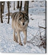 Timber Wolf In Snow Acrylic Print by Michael Cummings