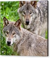 Timber Wolf Pair Acrylic Print by Michael Cummings