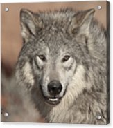 Timber Wolf Portrait Acrylic Print by Sandra Bronstein