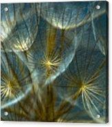 Translucid Dandelions Acrylic Print by Iris Greenwell