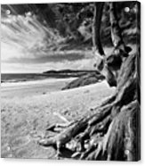 Tree Roots Carmel Beach Acrylic Print by George Oze