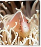Tropical Fish Pink Clownfish Acrylic Print by MotHaiBaPhoto Prints