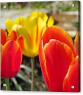 Tulip Celebration Acrylic Print by Karen Wiles