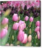 Tulip Dreams Acrylic Print by Louise Magno