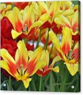 Tulips Glorious Tulip Monsella Acrylic Print by Debra  Miller