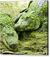Two Alligators Acrylic Print by Garry Gay