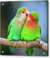 Two Peace-faced Lovebird Acrylic Print by Feng Wei Photography