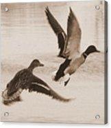 Two Winter Ducks In Flight Acrylic Print by Carol Groenen