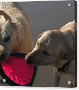 Two Yellow Labs Tug At The Frizbee Acrylic Print by Stacy Gold