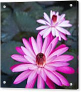Vibrant Waterlilies Acrylic Print by Dana Edmunds - Printscapes
