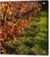 Vineyard 13 Acrylic Print by Xueling Zou