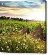 Vineyard Acrylic Print by Carlos Caetano