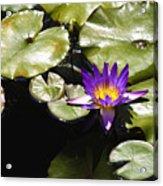 Vivid Purple Water Lilly Acrylic Print by Teresa Mucha
