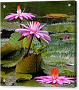 Water Lillies-st Lucia Acrylic Print by Chester Williams