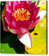 Water Lily Fc 2 Acrylic Print by Diana Douglass